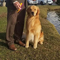 kestrel farm golden retriever stud dog, Rhett, GCH Lakewood's Rhett Butler @ Kestrel Farm South CCA